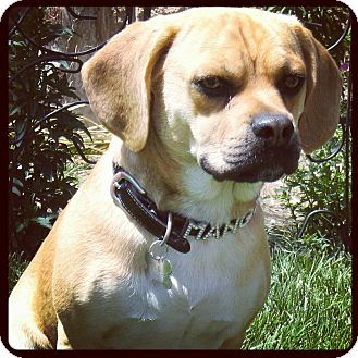Pug/Beagle Mix Dog for adoption in Long Beach, California - Mango