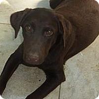 Adopt A Pet :: COCOA - Raleigh, NC