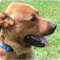 Adopt A Pet :: Sarge - Rigaud, QC