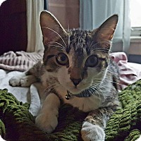 Adopt A Pet :: Tyger - Chicago, IL