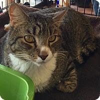 Adopt A Pet :: Tiger - Horsham, PA