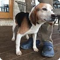 Adopt A Pet :: Joey - Howell, MI