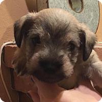Adopt A Pet :: Alfalfa - Phoenix, AZ