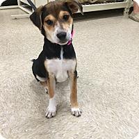 Adopt A Pet :: Phoebe - Hohenwald, TN