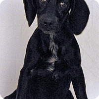 Hound (Unknown Type)/Labrador Retriever Mix Puppy for adoption in Newland, North Carolina - Fern