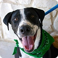 Labrador Retriever/American Staffordshire Terrier Mix Dog for adoption in New Braunfels, Texas - Kenny Rogers