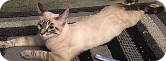 Siamese Cat for adoption in La Canada Flintridge, California - Taz