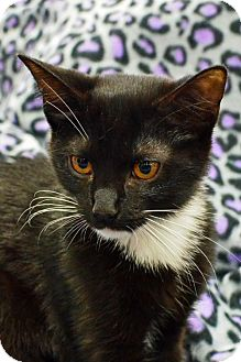 Domestic Shorthair Cat for adoption in Morgantown, West Virginia - Trixie