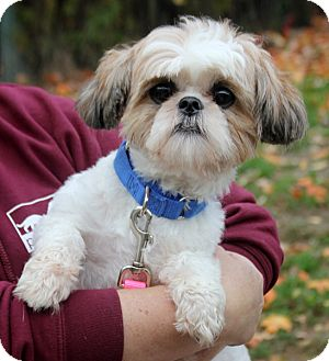 shih tzu rescue nyc harrison ny shih tzu mix meet roger a dog for adoption 5451