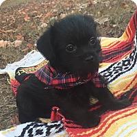 Pekingese/Poodle (Miniature) Mix Puppy for adoption in Anderson, South Carolina - Jose' (pending adoption)