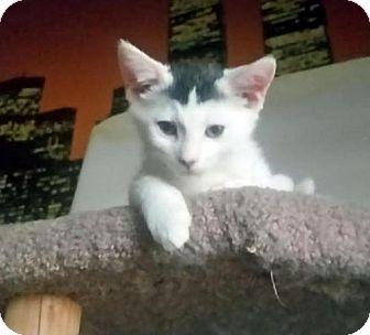 Domestic Shorthair Kitten for adoption in Chandler, Arizona - Cosmo