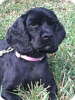 Cocker Spaniel Dog for adoption in Davie, Florida - Pandora