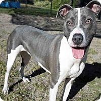 American Staffordshire Terrier Mix Dog for adoption in Jacksonville, Florida - LAUREN HILL