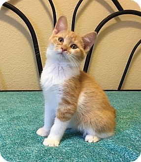 Domestic Shorthair Kitten for adoption in Plano, Texas - TWIX - SWEET AS CANDY!