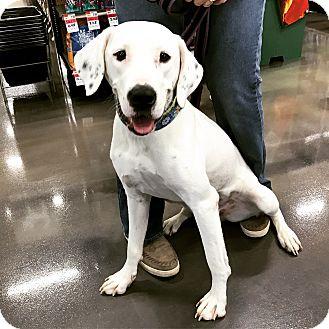 Labrador Retriever Mix Dog for adoption in joliet, Illinois - SHELLY