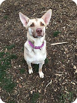 German Shepherd Dog Mix Dog for adoption in South Park, Pennsylvania - Cooper