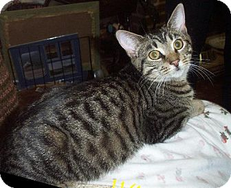 Domestic Shorthair Cat for adoption in Lindenhurst, New York - Ringo
