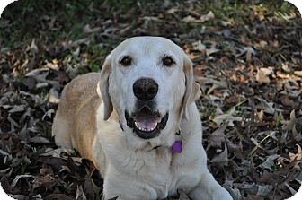 Labrador Retriever Dog for adoption in Richmond, Virginia - Lucy