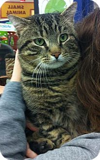 Domestic Shorthair Cat for adoption in Merrifield, Virginia - Vader