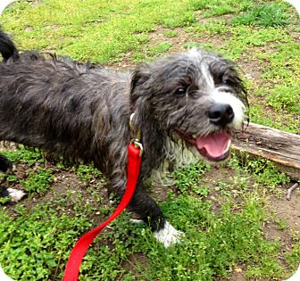 Schnauzer (Miniature) Mix Dog for adoption in Waldorf, Maryland - Pebbles #411