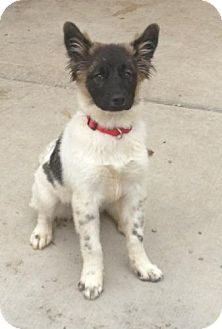 Collie/St. Bernard Mix Puppy for adoption in Lancaster, Ohio - Keetah