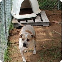Adopt A Pet :: Georgia (Georgia of the jungle - Allentown, PA