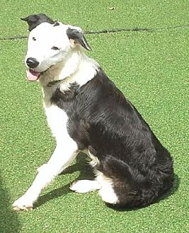 Border Collie Dog for adoption in Evansville, Indiana - Gus