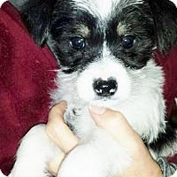 Adopt A Pet :: Panda, Bear and poo - Richmond, MI