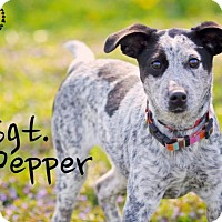 Adopt A Pet :: Sgt. Pepper - Joliet, IL