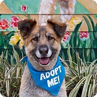 Adopt A Pet :: Big Ben - Pacific Grove, CA