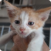 Domestic Shorthair Kitten for adoption in San Pablo, California - OW2