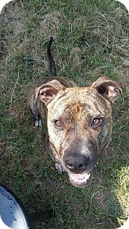 Bull Terrier Mix Dog for adoption in Sanford, North Carolina - Todd