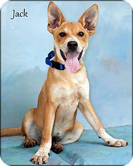 Australian Cattle Dog Mix Puppy for adoption in Ottumwa, Iowa - Jack