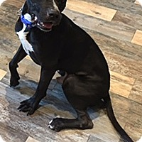 Labrador Retriever/Pit Bull Terrier Mix Dog for adoption in Portland, Oregon - A - WILLIE