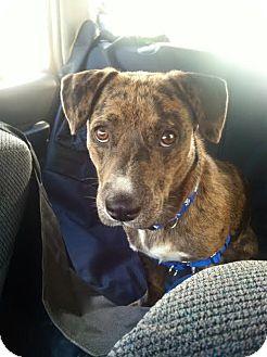 Basset Hound/Catahoula Leopard Dog Mix Dog for adoption in East Randolph, Vermont - Thumper