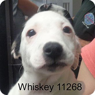 Australian Cattle Dog/Boston Terrier Mix Puppy for adoption in baltimore, Maryland - Whiskey