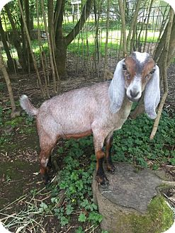 Goat for adoption in Maple Valley, Washington - Buster