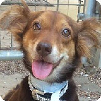 Dachshund Mix Dog for adoption in Houston, Texas - Moochie McIntosh