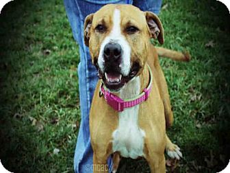 Pit Bull Terrier Dog for adoption in Decatur, Illinois - FIONA