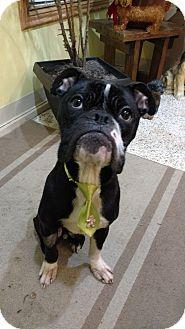 Boxer/Bulldog Mix Dog for adoption in Garden City, Michigan - Hugo-Pending