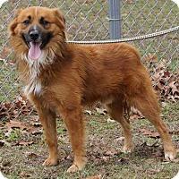 Adopt A Pet :: BEAR ~ FLUFFY AUSSIE - Hanover, PA