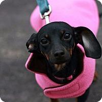 Adopt A Pet :: Rescue Tinkerbell - Batavia, NY