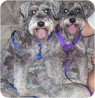 Schnauzer (Miniature) Dog for adoption in Chandler, Indiana - Willie