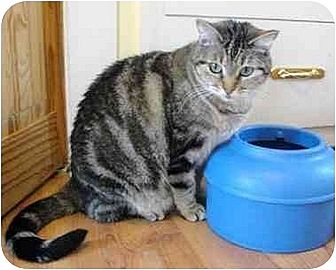 Domestic Shorthair Cat for adoption in Thibodaux, Louisiana - Cinnamon FE1-3737