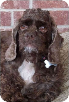 Cocker Spaniel Dog for adoption in Sugarland, Texas - Breeleigh
