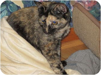 Domestic Shorthair Cat for adoption in Richfield, Ohio - Fancy