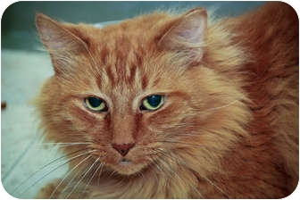 Domestic Shorthair Cat for adoption in Chicago, Illinois - Nicholas