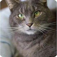 Adopt A Pet :: Paddy Cake, aka Shadow - Grayslake, IL
