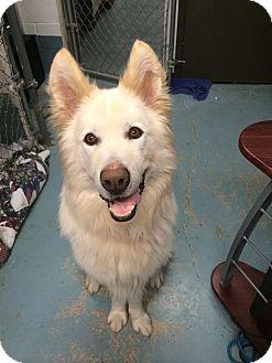 Samoyed Mixed With German Shepherd Ghost (was Bigg...