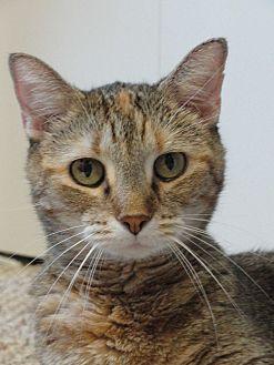Domestic Shorthair Cat for adoption in Colfax, Iowa - ZuZu